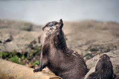 Beautiful Otter Royalty Free Stock Photos