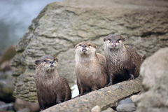 Beautiful Otters Stock Photo