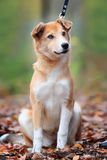 Beautiful outdoor portrait of a young red dog Stock Images