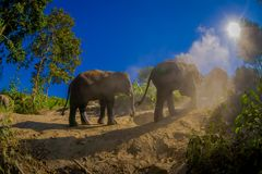 Beautiful outdoor view of young elephants walking near the riverbank in the nature, in Elephant jungle Sanctuary, during. A gorgeous sunny day playing with dry royalty free stock photography