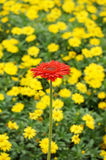 Beautiful outstanding red chrysanthemum. Red chrysanthemum stand out from yellow chrysanthemum Stock Photo