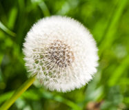 Beautiful overblown dandelion Royalty Free Stock Photography