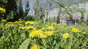 Beautiful overgrown with yellow dandelions. stock video