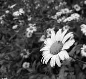 Leucantemum superbum daisy in black and white royalty free stock images