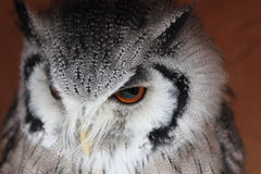 Beautiful owl 2. A beautiful close up of an owl royalty free stock photo