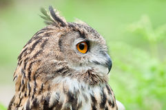 Beautiful owl Stock Images