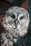 Beautiful owl Stock Images