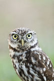 Beautiful owl - Athene noctua, Litlle owl Royalty Free Stock Photos