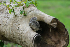 Beautiful Owl bird Spotted owlet Royalty Free Stock Image