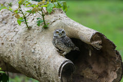 Beautiful Owl bird Spotted owlet Royalty Free Stock Photo