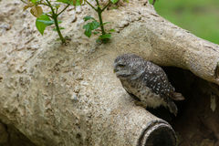 Beautiful Owl bird Spotted owlet Stock Image