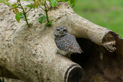 Beautiful Owl bird Spotted owlet Royalty Free Stock Photography