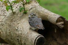 Beautiful Owl bird Spotted owlet Stock Photos
