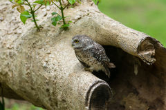 Beautiful Owl bird Spotted owlet stock images