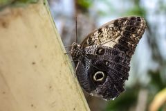 Beautiful owl butterfly Caligo Memnon, on a blurred background. Macro photo. Close-up royalty free stock images