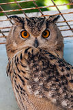 Beautiful owl. A close up royalty free stock photography