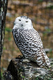 Beautiful owl in a forest Royalty Free Stock Image