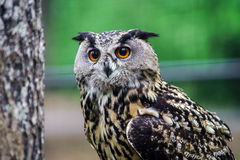 Beautiful owl in a forest Royalty Free Stock Photos
