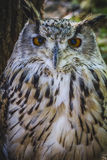 Beautiful owl with intense eyes and beautiful plumage Royalty Free Stock Photography
