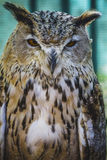 Beautiful owl with intense eyes and beautiful plumage Stock Image