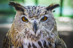 Beautiful owl with intense eyes and beautiful plumage Royalty Free Stock Image