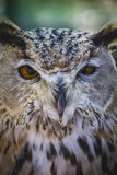Beautiful owl with intense eyes and beautiful plumage Stock Images