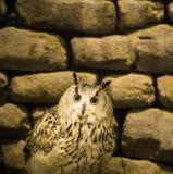 Beautiful owl Stock Photos