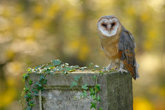 Beautiful owl in nature green habitat. Nice bird barn owl, Tito alba, sitting on stone fence in forest cemetery, nice blurred ligh Stock Photo