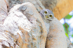 Beautiful Owl perched on a tree hole Stock Images