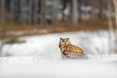 Beautiful owl from Russia, Eastern Siberian Eagle Owl, Bubo bubo, sitting in snow. Winter scene with majestic rare owl with forest. In the background royalty free stock photography
