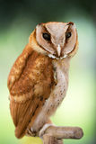Beautiful  owl Stock Photography