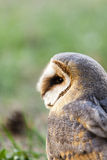 Beautiful owl - Tyto alba, barn owl. Portrait of beautiful owl - Tyto alba, barn owl Stock Photo