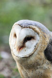 Beautiful owl - Tyto alba, barn owl Royalty Free Stock Images