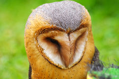 Beautiful owl Royalty Free Stock Images