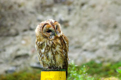 Beautiful owl. Beautiful young owl staring somewhere Stock Photography