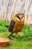 Beautiful owl. Beautiful young owl staring somewhere Royalty Free Stock Image