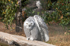 Beautiful owls in the park. Beautiful owls sitting on a trink in the park Stock Photos