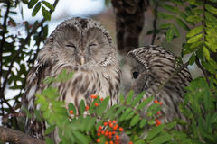 Beautiful owls in the park. Beautiful owls sitting on a trink in the park Royalty Free Stock Photo