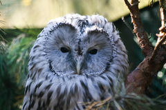 Beautiful owls in the park. Beautiful owls sitting on a trink in the park Royalty Free Stock Photography