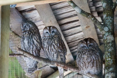 Beautiful owls in the park. Beautiful owls sitting on a trink in the park Stock Photography