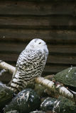 Beautiful owls in the park. Beautiful owls sitting on a trink in the park Stock Photo