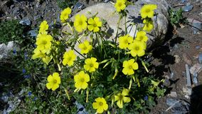 The beautiful Oxalis pes-caprae flower in garden.  royalty free stock images