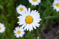 Beautiful yellow and white oxeye daisy from above royalty free stock photography