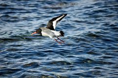 Beautiful oystercatcher bird flying over clear blue fjord. Water in summer Royalty Free Stock Photography