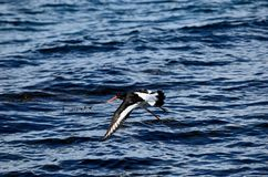 Beautiful oystercatcher bird flying over clear blue fjord. Water in summer Stock Photography