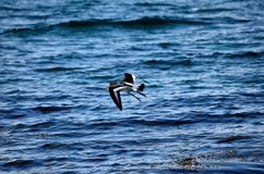 Beautiful oystercatcher bird flying over clear blue fjord water. In summer Stock Images