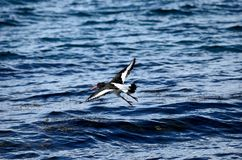 Beautiful oystercatcher bird flying over clear blue fjord water. In summer Royalty Free Stock Photo