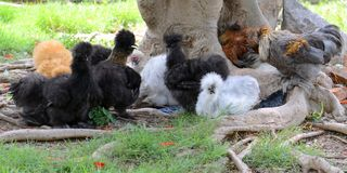 The beautiful pact of Silkie or fur chicken in park stock photography