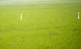 Beautiful paddy field with stork bird in it beautiful funny Stock Photo
