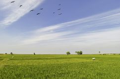 Beautiful paddy field under an open blue sky royalty free stock photos